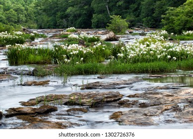 Long camera exposure smoothed the fast flowing Flat Shoals Creek in Harris County Georgia near LaGrange and West Point. The endangered white Shoals Spider Lilies are in full bloom.