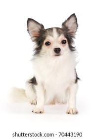 Long coat chihuahua on a white background