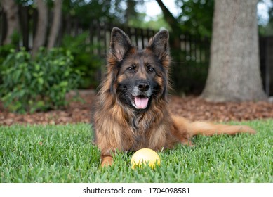 Long coat red and black German shepherd dog outdoors with a yellow ball