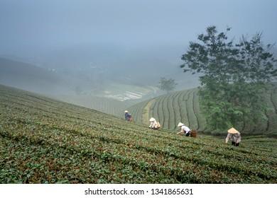 Long Coc tea hill, Phu Tho province, Vietnam - January 8, 2019: The women harvesting green tea on Long Coc tea hill in Phu Tho province, Vietnam