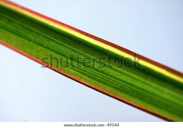 Long Colorful Plant Leaf