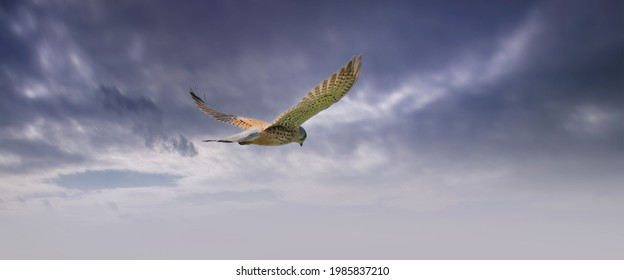 Long cover of a Kestrel bird of prey hovers against a dramatic sky with colorfull blue and purple clouds, hunting for prey. Webbanner, social media or cover - Shutterstock ID 1985837210