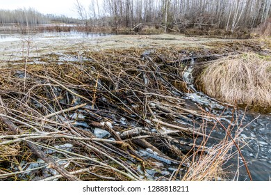 a long dam along the top of the pond has sprung some leaks and left work for the beavers to complete