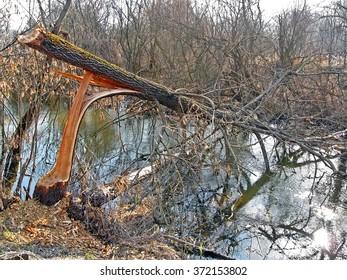 long damaged wind-fallen tree over river, stress environment details