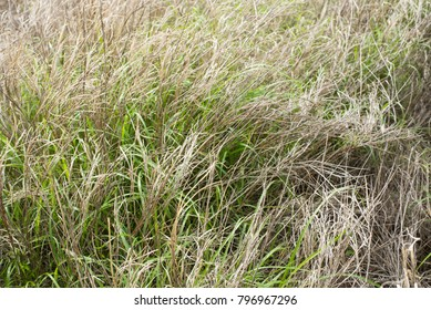 long, dying, green grass as a horizontal background