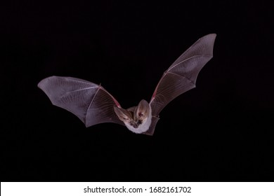 Long Eared Bat Night Flying