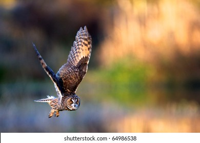 A long eared owl flying