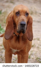 Long earred tan Bloodhound standing and looking forward with sad eyes