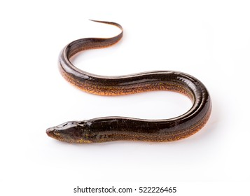 Long eel on a white background