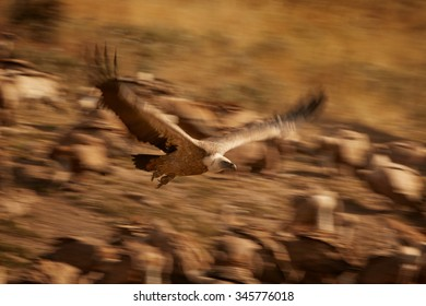 Long exposure time flying Griffon vulture Gyps fulvus to express movement.