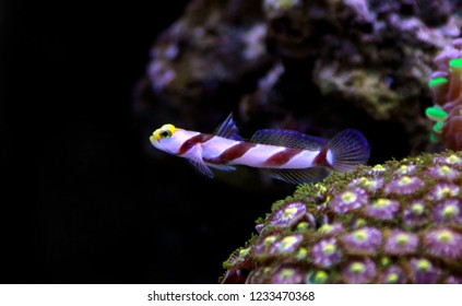 Long Fin Red Banded Goby - (Stonogobiops nematodes)
