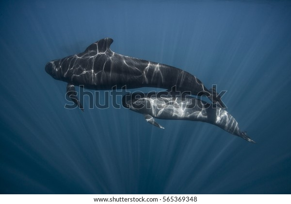 Long finned pilot whale mother and calf (globicephala melas), straits of gibraltar.