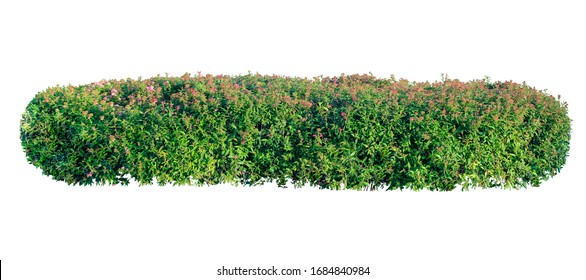 Long garden bush with pink flowers isolated on a white background.