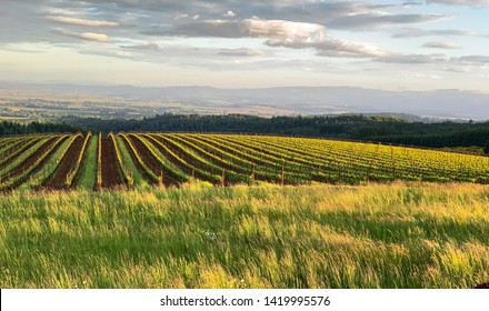 Long grass picks up the afternoon light in front of an Oregon vineyard, rows of vines leading to the horizon.