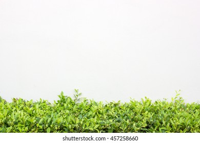 Long Green Bush or Hedgerow in front of White Concrete Wall, Isolated Nature Background with Copy Space