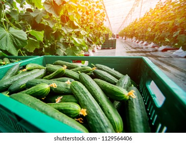 Long green cucumbers in a boxes. Greenhouse. Background