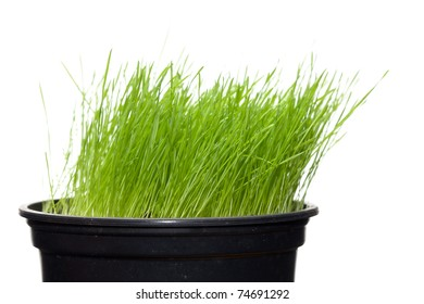 Long green grass growing in flowerpot; isolated on white background.