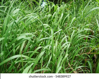 Long green grass, top view, wild, Andropogon gerardii Big bluestem or turkey foot green grass, close up, low perspective, vegetation in summer