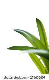Long green leaves on white background as design element