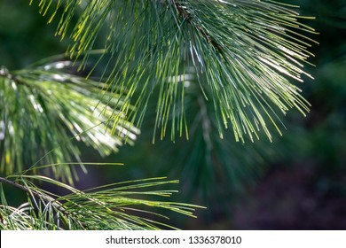 Long green needles of white pine Pinus strobus against sun on  blurred green garden. Selective macro focus upper needles on right. Original texture of natural pine greenery. Place for your text