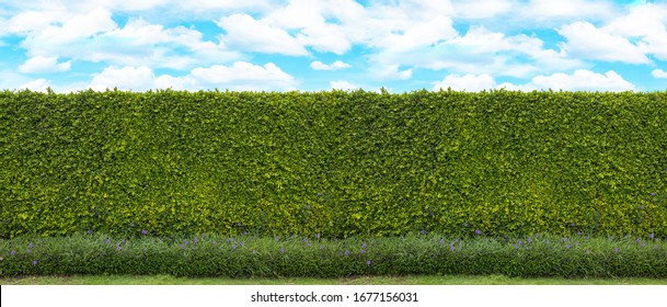 Long green tree wall with blue sky and cloud for backdrop design, And free space for art work.