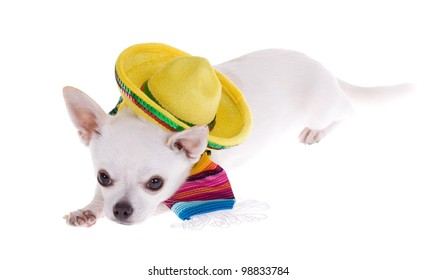 Long hair brown Chihuahua Wearing Mexican Poncho celebrates Cinco de Mayo, isolated on white.