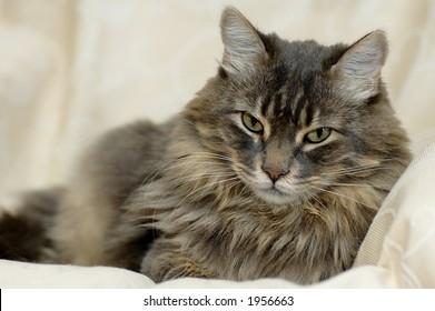 A long hair cat resting