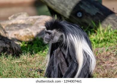 A long hair Colobus monkey