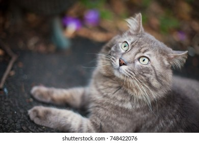Long hair grey cat posing in a grey outdoor background