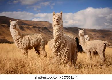 """""""Long hair"""" llamas in Mountains, Andes, Peru"""