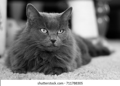 Long hair Nebelung gray cat laying on the carpet with head up looking past the camera.