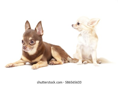 long hair and short hair chihuahua puppy on white background