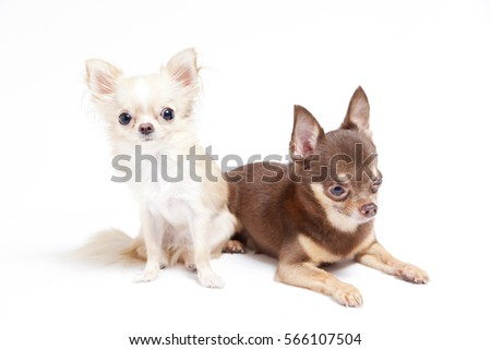 Long Hair Short Hair Chihuahua Puppy Stock Photo Edit Now