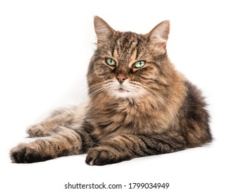 Long hair tabby cat with beautiful green eyes and long whiskers, lying sideways. Relaxed senior cat (14 years) looking at camera. Full body portrait of female cat. Isolated on white.