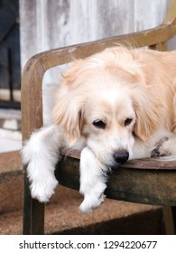 long hair white dog resting on wood chair outdoor making sad face and lonesome posture portraits crop closeup