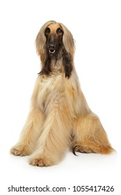 Long haired Afghan hound graceful sits on white background