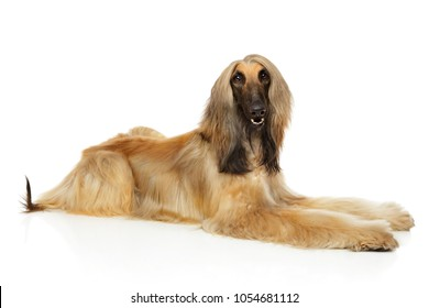 Long haired Afghan hound lying down on white background