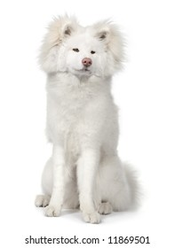 long haired Akita inu (9 months) in front of a white background