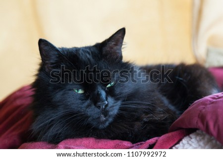 A long haired black cat with green eyes resting on a red blanket.