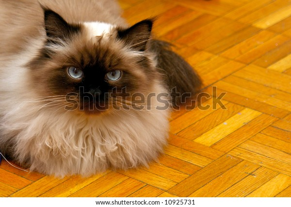 Long Haired Blue Eyed Seal Point Stock Photo Edit Now 10925731
