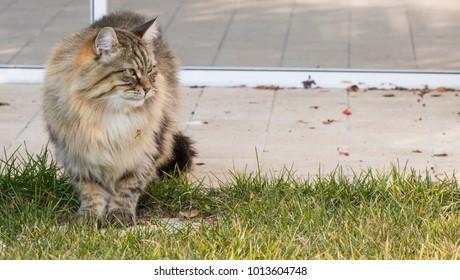 Long haired brown cat in the garden. Siberian purebred kitten, hypoallergenic pet