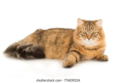 Long Haired Cat Lying Down
