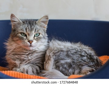 Long haired cat lying in relax in a garden, siberian breed