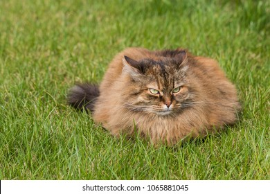 Long haired cat on the grass green, brown mackerel female