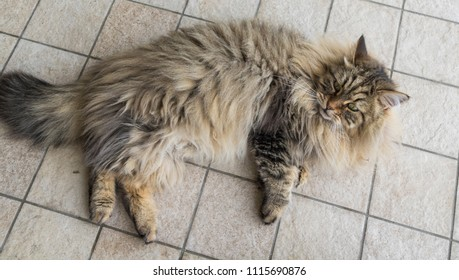 Long haired cat outdoor, siberian purebred kitten. Domestic hypoallergenic pet, lying in relax on the floor