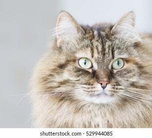 long haired cat of siberian breed brown mackerel version
