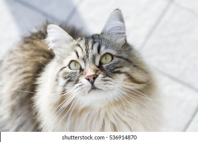 long haired cat of siberian breed