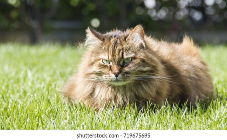 Long haired cat of siberian purebred lying on the grass green. Brown mackerel female