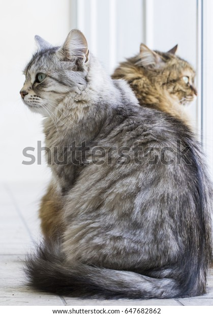 Long Haired Cats Siberian Breed Female Stock Photo Edit Now 647682862