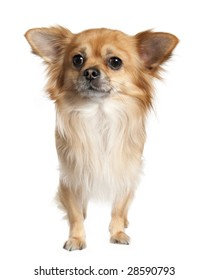 long haired chihuahua (3 years old) in front of a white background